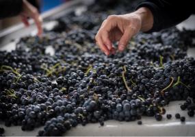 Selección de uvas